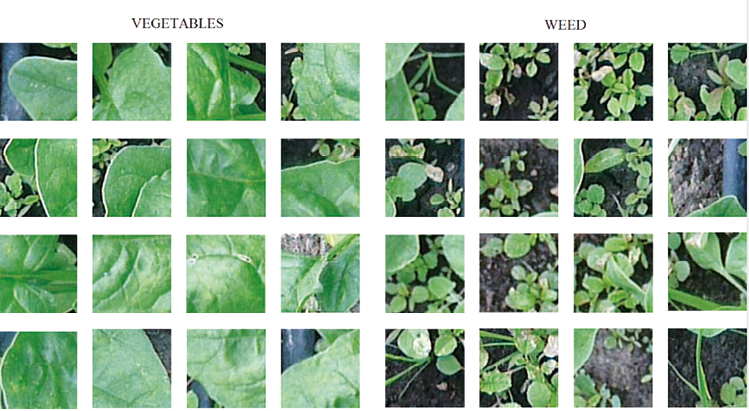 Weed recognition by SVM texture feature classification in outdoor